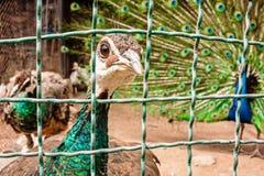 Peafowl vert-étranglé curieux collant son regard fixe à travers les barres image libre de droits