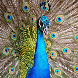 Peafowl vert Photos stock