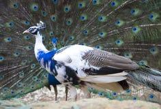 Peafowl vert image stock