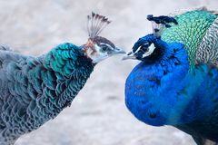 Peafowl vert et Peafowl bleu photos stock