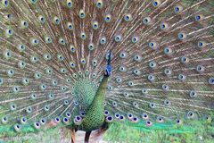 Peafowl vert photographie stock