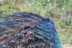 Peafowl vert images stock