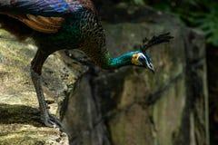 Peafowl vert se penchant dans et regardant outre d'un rebord photo stock
