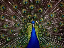 Peafowl, Vertebrate, Feather, Galliformes Stock Image