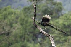 Peafowl volant pour stump image stock
