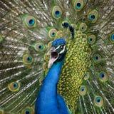 peafowl zamknięty target1086_0_ indyjski męski ogon męski Obrazy Royalty Free