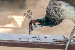 Peafowlen äter solrosfrö royaltyfri bild