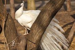 Peafowlen Arkivfoto