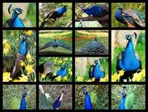 Peafowls del indio de las fotos del mosaico fotografía de archivo libre de regalías