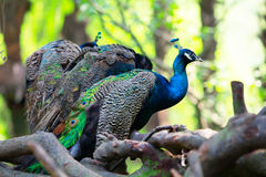 Peafowls perch on trunk Royalty Free Stock Photo