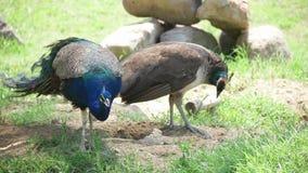 Peafowls w Izmir zoo indyk zbiory wideo
