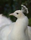 peafowlwhite royaltyfria bilder