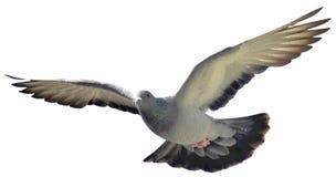 Peagon da rocha em voo fotografia de stock