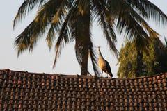 Peahen на верхней части крыши дома Стоковые Фото