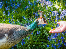 Peahen in bluebell flowerbed fed nuts from hand. Peahen in the bluebell flowerbed fed nuts from hand Stock Photo