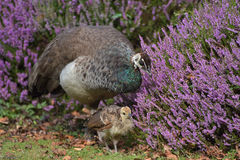 Peahen with chick on Brownsea Island Royalty Free Stock Images