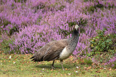 Peahen with chick on Brownsea Island Stock Image