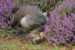 Peahen with chick on Brownsea Island Stock Photos