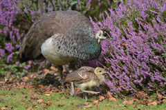 Peahen with chick on Brownsea Island Stock Photography