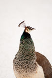 Peahen closeup Royalty Free Stock Image