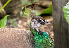 Peahen closeup. Peafowl are two Asiatic and one African species of flying bird in the genus Pavo of the pheasant family, Phasianidae, best known for the male's Stock Image