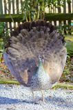 Peahen. A peahen or female peacock displaying her feathers Stock Photography
