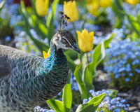 Peahen in the flowerbed Stock Photo