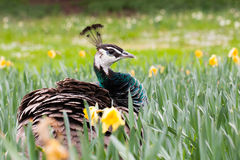 Peahen in a garden Royalty Free Stock Image