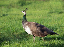 Peahen on a green lawn. Beautiful young peahen on a green grass Royalty Free Stock Photography