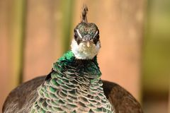 Peahen Royalty Free Stock Image