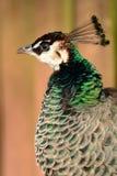 Peahen. Head shot Portrait of a peahen Stock Photos