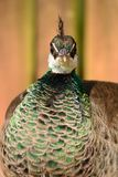Peahen. Head shot Portrait of a peahen Royalty Free Stock Photography