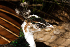 Peahen Royalty Free Stock Images