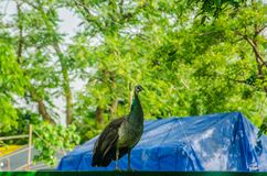 Peahen royalty free stock photos