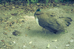 A peahen and its baby in Seville, Spain, Europe. Baby of the peacock and a peahen Royalty Free Stock Images
