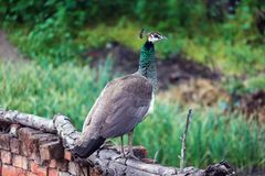 A Peahen outside my house. In Jalandhar, Punjab Stock Photography