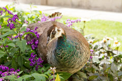 Peahen. In a park walking among flowers Royalty Free Stock Photography