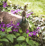 Peahen. In a park walking among flowers Royalty Free Stock Image