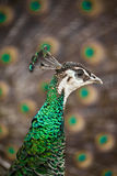 Peahen and peacock. Closeup of a peahen in front of fanned out peacock feathers Stock Photo