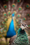 Peahen and Peacock Royalty Free Stock Photography