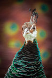 Peahen portrait. Peahen bird standing in front of a peacock with feathers open Stock Photography