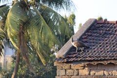 Peahen on the rooftop. Peahen is on the rooftop of house Stock Photos