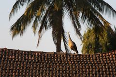 Peahen on the top of the roof of house stock photos