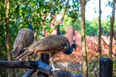 Peahen. Walking around outdoors Stock Images