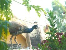 Peahen. Wall old homes plants green plants yellow sky glass Stock Images