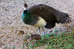 Peahens babies Stock Photo