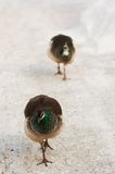 Peahens out for a walk. Two Peahens walking in the snow Royalty Free Stock Images