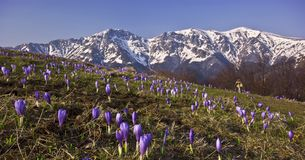 Peak. Montain flowers-crocus in front.rocky peaks covered with snow in backgrond.sunny weather Stock Photos