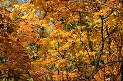 Peak Autumn Maple Colors - Minnesota. Peak autumn color of maple tree foliage in an upland forest stand in central Minnesota royalty free stock photos