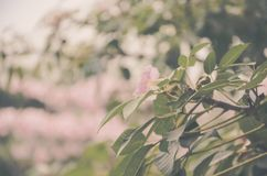 Peak bloom royalty free stock photo